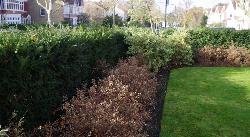 Large Yew Hedge - Hedge Planting